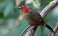 Other Asian Passerines