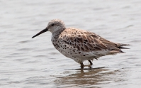 Great Knot (Storryle)