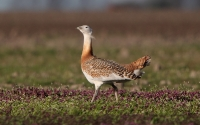 Great Bustard (Stortrappe)