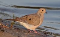 Mourning Dove (Sørgedue)
