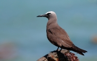 Brown Noddy (Brun Noddy)