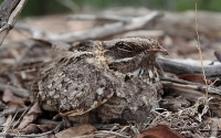 Indian Nightjar (Indisk Natravn)