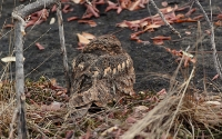 Savanna Nightjar (Savannenatravn)