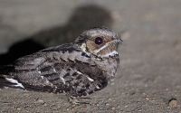 Large-tailed Nightjar (Orientalsk Natravn)