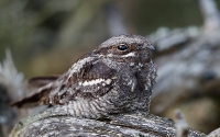 European Nightjar (Natravn)