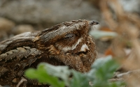 Red-necked Nightjar (Rødhalset Natravn)