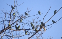 Psittacidae (New World Parrots)