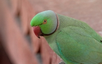Psittaculidae (Old World Parrots)
