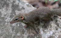 Scandentia (Tree Shrew)
