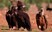 Vultures (Gribbe)