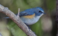 Muscicapidae (Chats & Old World Flycatchers)