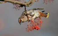 Bombycillidae & Cinclidae (Waxwings & Dippers)