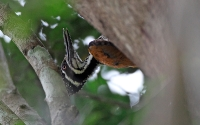 Greater Flameback (Yunnan-sultanspætte)