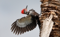 Picidae (Woodpeckers)