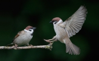 Passeridae (Old World Sparrows)