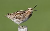 Scolopacidae (Dowitchers & Snipes)