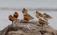 Scolopacidae (Curlews & Godwits)