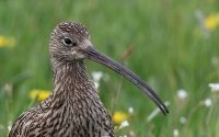 Eurasian Curlew (Storspove)