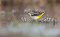 Grey Wagtail in winter